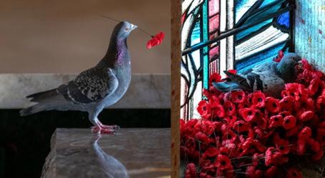Αυστραλία: Φωλιά περιστεριού με παπαρούνες από το Μνημείο Πεσόντων