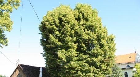 """Κροατία: Φλαμουριά 500 ετών διεκδικεί τον τίτλο του """"Ευρωπαϊκού Δέντρου του 2019"""""""
