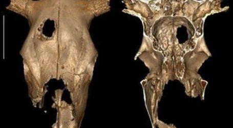 Οι αρχαιότερες ενδείξεις για κτηνιατρική χειρουργική επέμβαση σε κρανίο αγελάδας