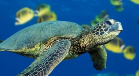 Μέτρα για την προστασία της χελώνας καρέτα καρέτα ζητούν 53 βουλευτές του ΣΥΡΙΖΑ