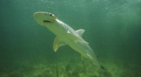 """ΗΠΑ: Ανακαλύφθηκε ο πρώτος αποδεδειγμένα """"χορτοφάγος"""" καρχαρίας"""