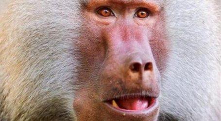 Μπαμπουίνοι έζησαν για πάνω από 6 μήνες μετά από μεταμόσχευση καρδιάς χοίρου