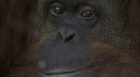 Πέθανε ο γηραιότερος ουρακοτάγκος Σουμάτρας