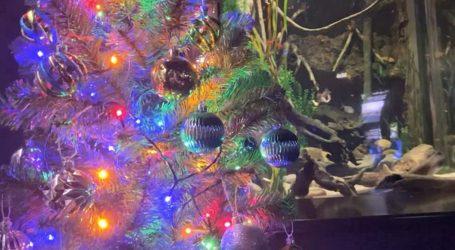 Ηλεκτροφόρο χέλι φωταγωγεί χριστουγεννιάτικο δέντρο σε ενυδρείο (vid)