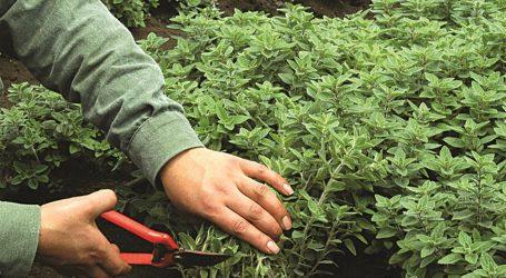 Κρήτη: Προγραμματική σύμβαση για τη διάσωση αρωματικών και φαρμακευτικών φυτών