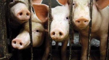 Κίνα: Aπειλείται με κρίση η παγκόσμια βιομηχανία τροφίμων λόγω της πανώλης των χοίρων