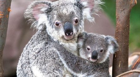 Αυστραλία: Κόβουν τα δέντρα για πυροπροστασία και τα κοάλα πεθαίνουν από την πείνα