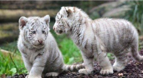 Δύο μικρά λευκά τιγράκια έφτασαν στη Μανάγκουα από το Μεξικό