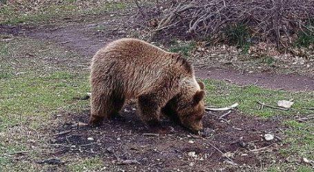 Βουλγαρία: Παγωτό για …αρκούδες στον ζωολογικό κήπο στην πόλη Ντόμπριτς