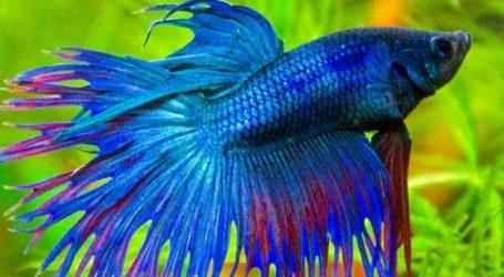 Το ψάρι μονομάχος του Σιάμ ανακηρύχθηκε σύμβολο της Ταϊλάνδης